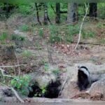 borsuki bawiące się w lesie